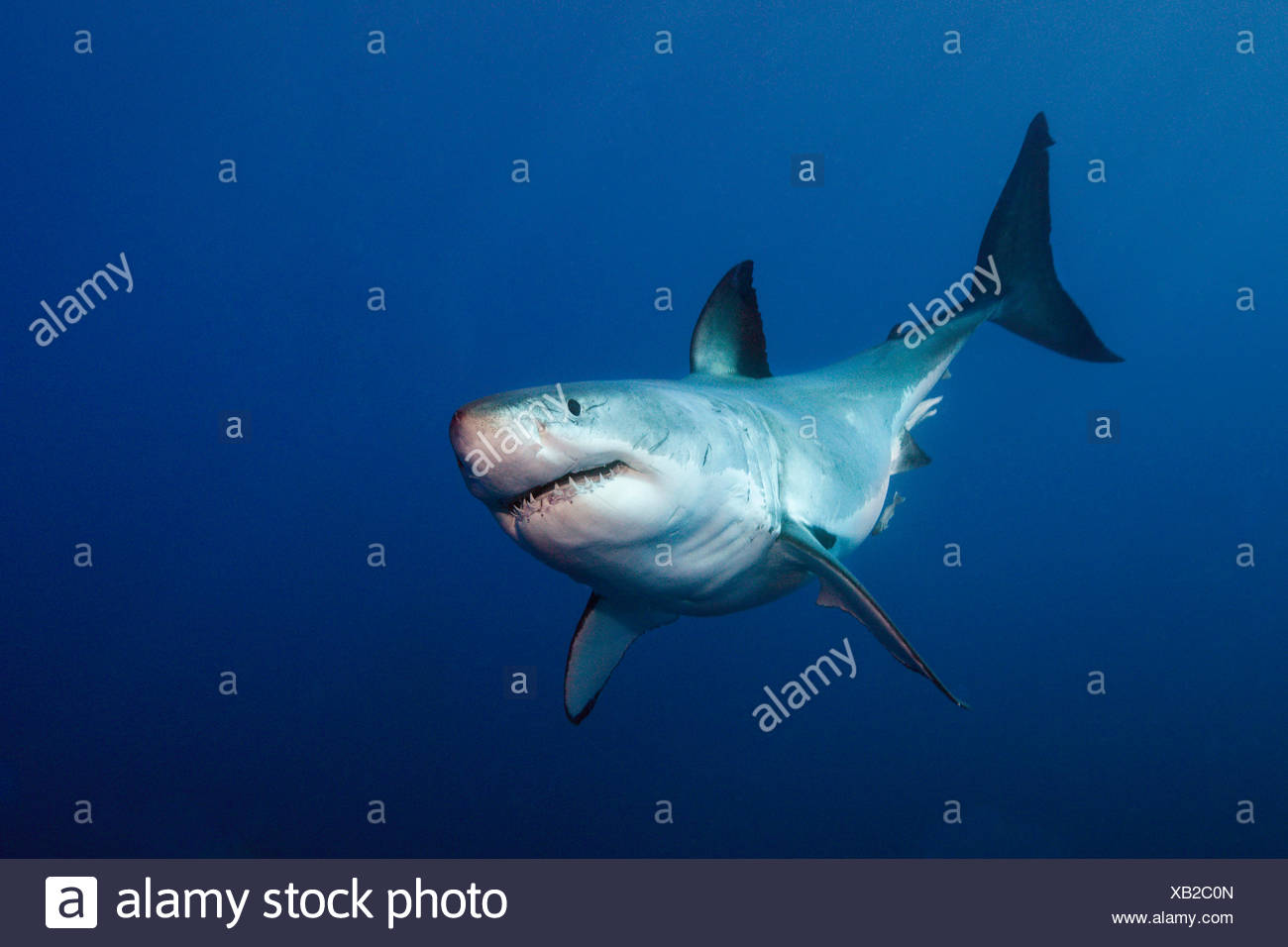 Great White Shark, Carcharodon carcharias, Neptune Islands, Australia - Stock Image