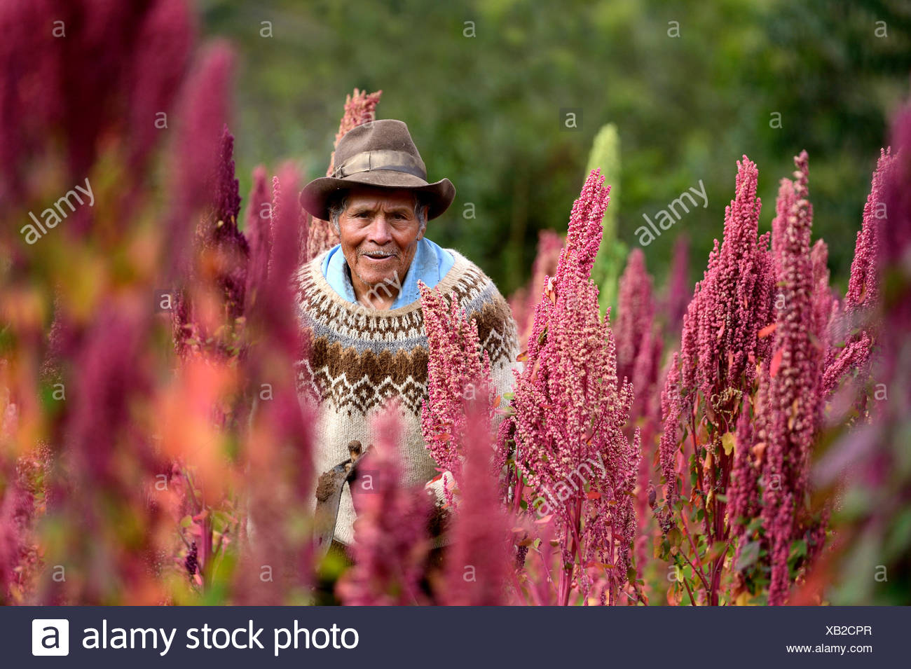 Elderly man, farmer, on a Quinoa field (Chenopodium quinoa), Quivilla, Huanuco Province, Peru - Stock Image