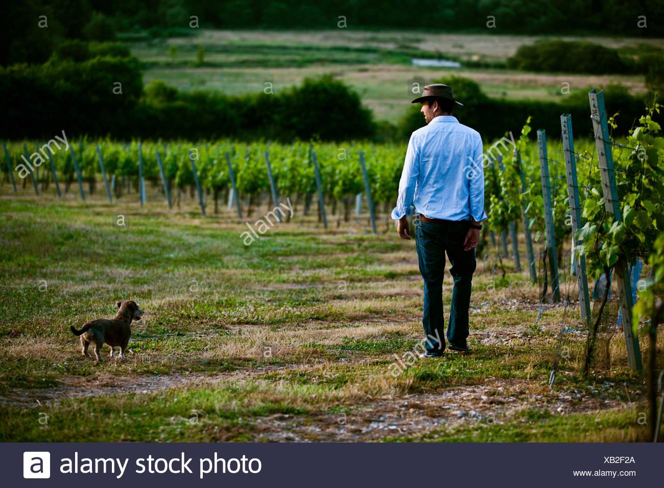 Mid adult man and dog monitoring wine and champagne vineyard, Cottonworth, Hampshire, UK - Stock Image