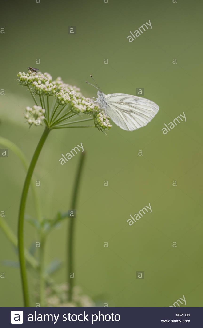 Green-veined White (Pieris napi), Germany - Stock Image