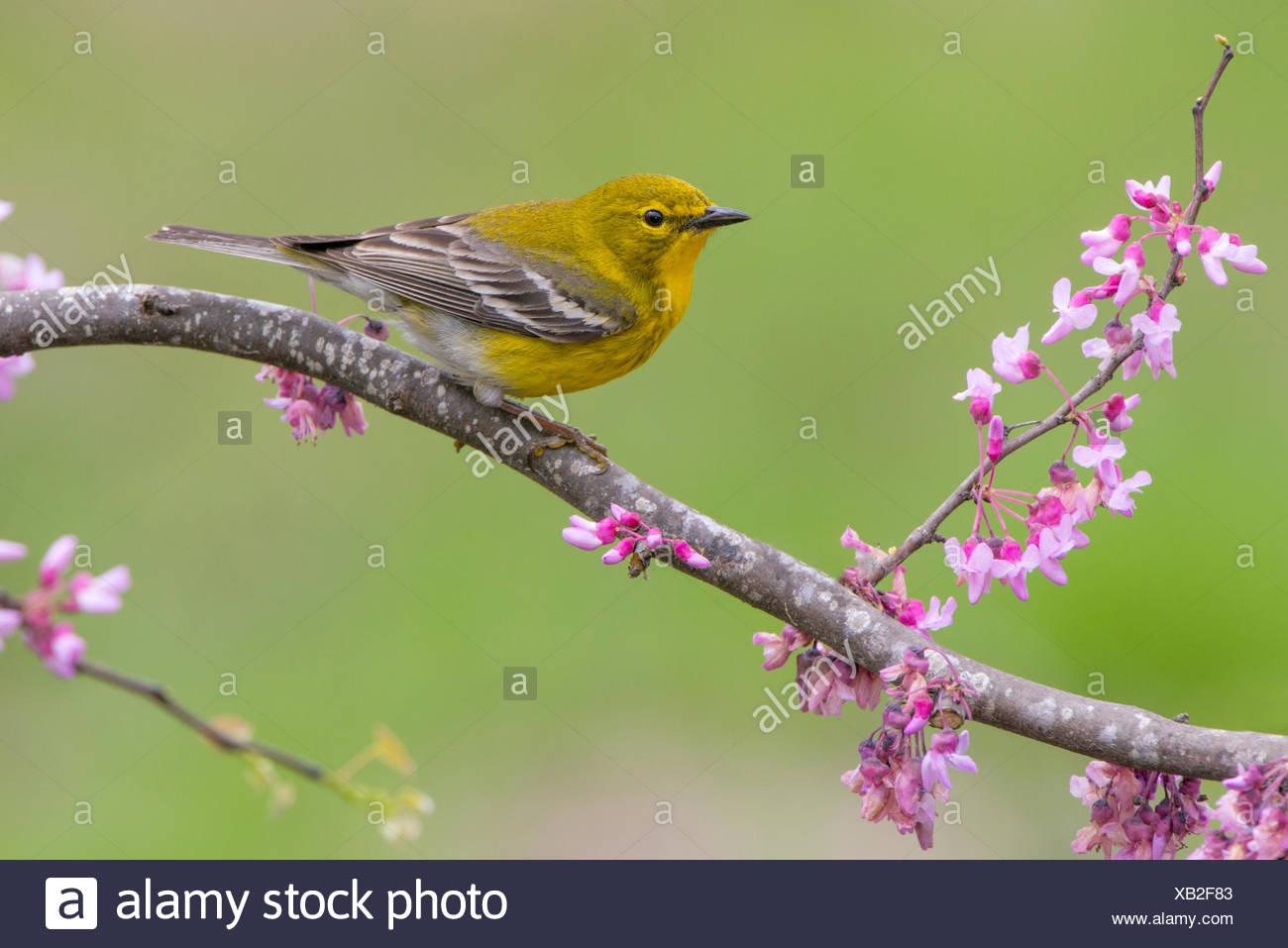 Pine Warbler, Setophaga pinus, Houston, Texas, USA - Stock Image
