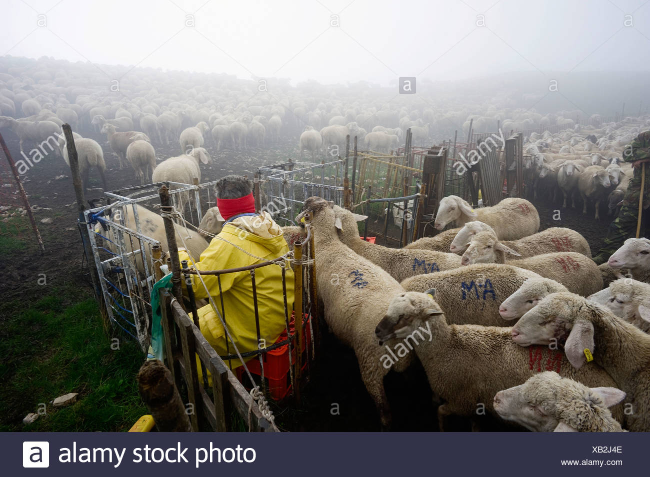 Vet examining a flock of sheep in the early morning in the Monte Sibillini mountains, Apennines, Le Marche, Italy, Europe Stock Photo