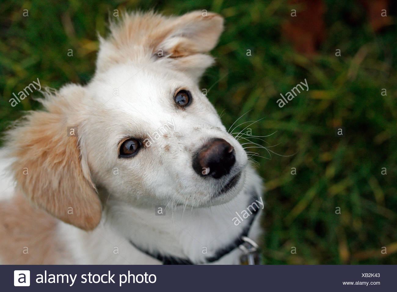 A mixed Shetland Sheepdog whelp - Stock Image