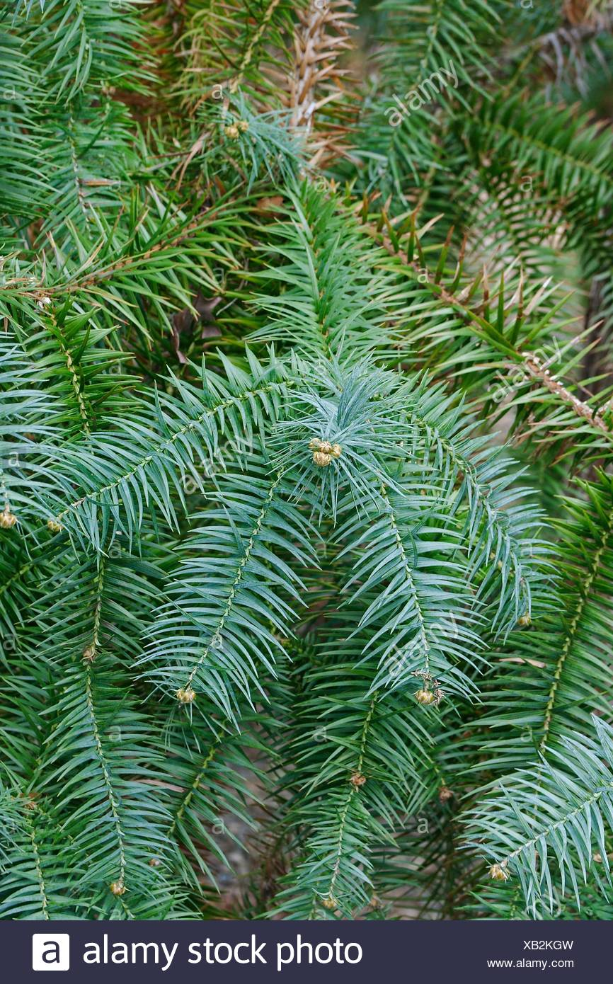 Blue-needled china fir (Cunninghamia lanceolata Glauca). Called Blue china fir also. - Stock Image