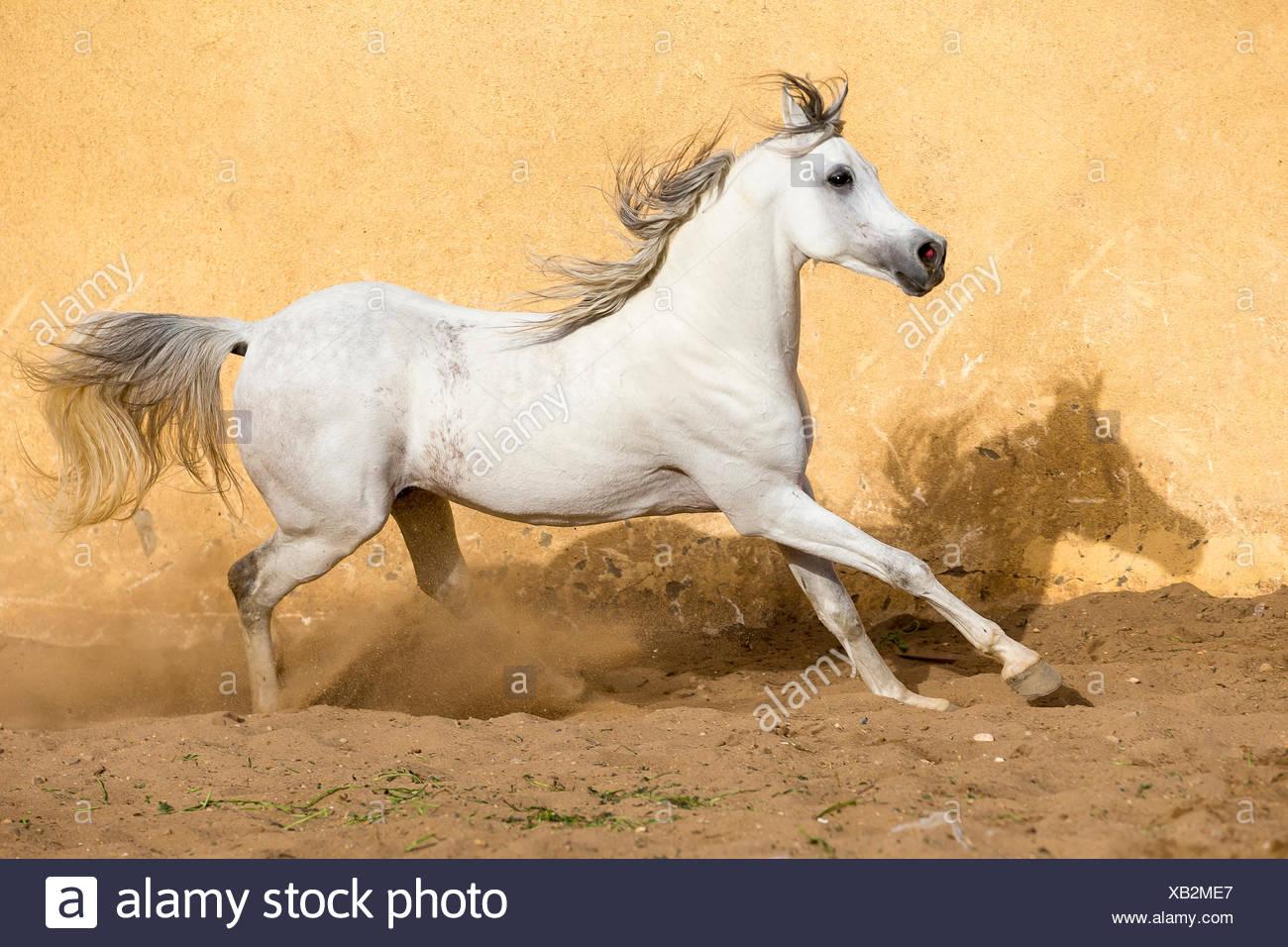 Arabian Horse Gray Stallion Galloping In A Paddock Egypt Stock Photo Alamy