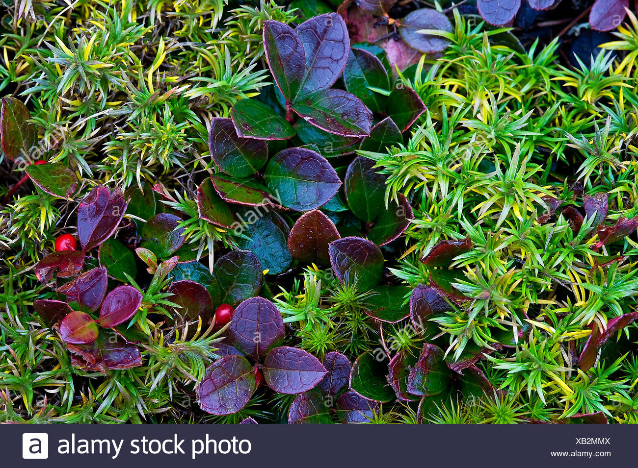 Colorful autumn ground cover plants. - Stock Image