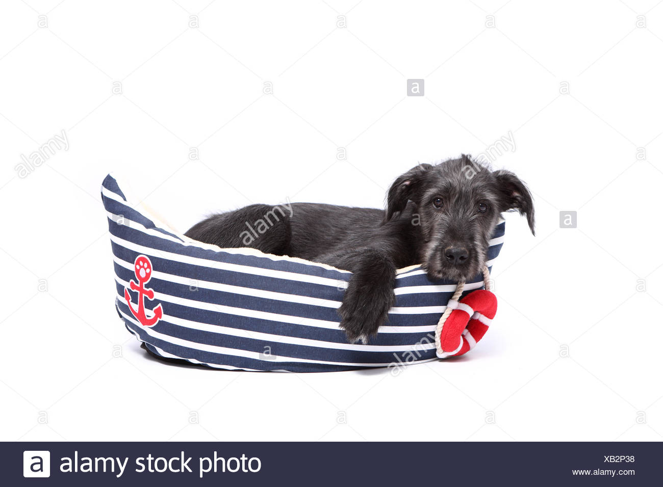 Irish Wolfhound. Puppy (9 weeks old) lying in a pet bed shaped like a boat. Studio picture against a white background. Germany Stock Photo