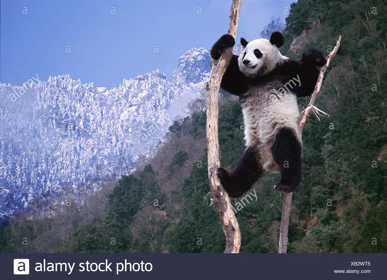 Panda climbing a tree Sichuan China - Stock Image