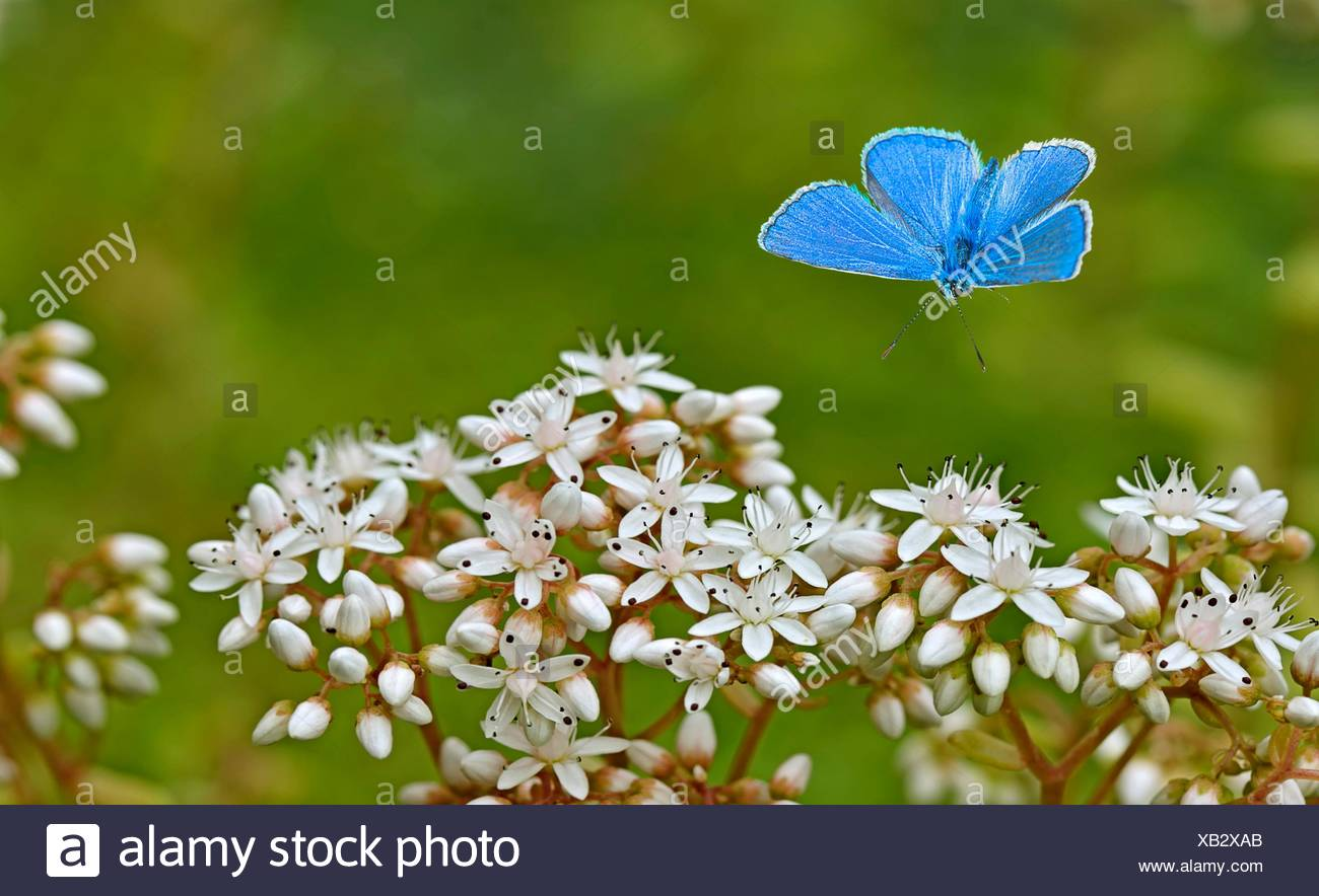 Adonis blue approaching blossom - Stock Image