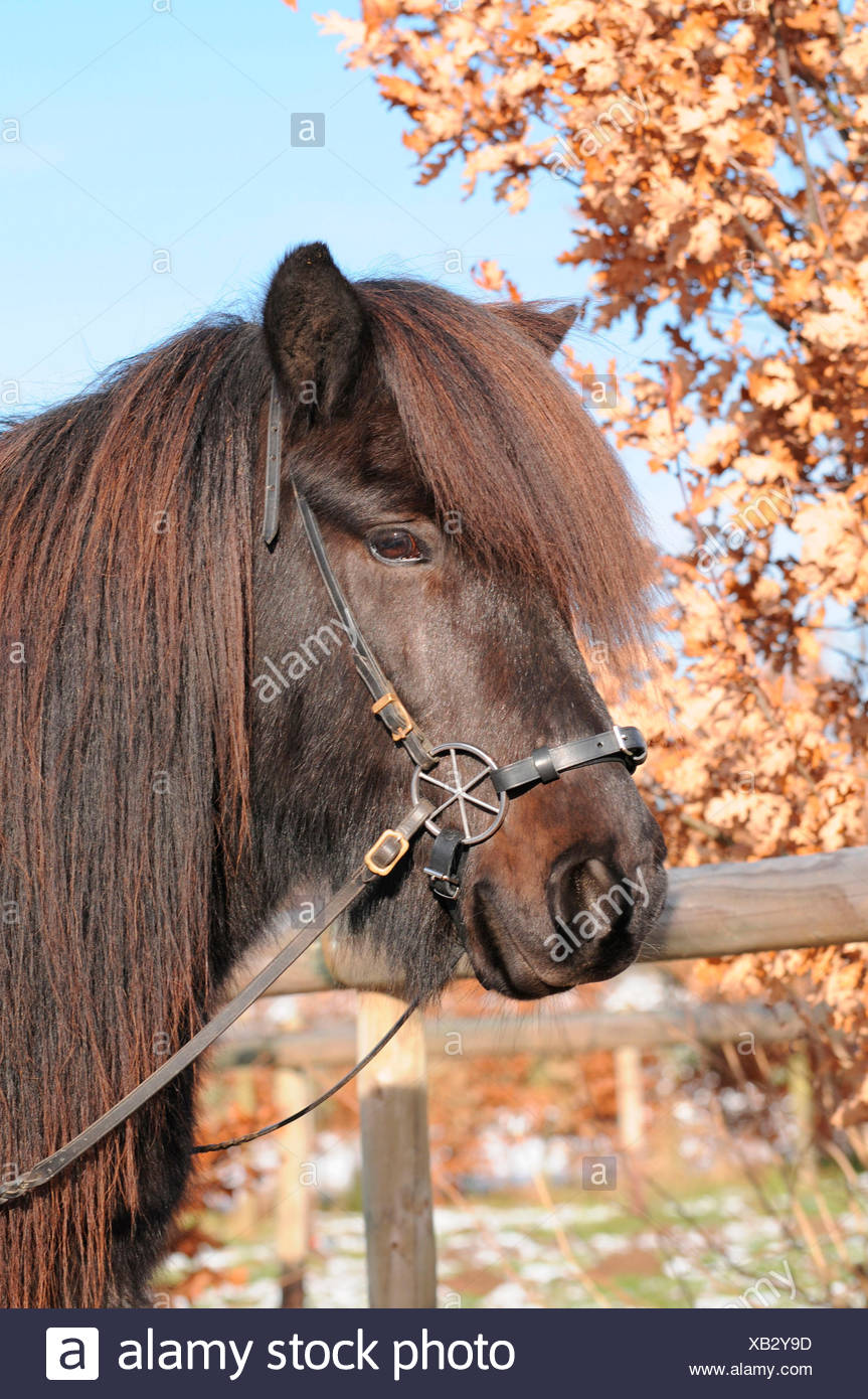 Icelandic Horse, bitless bridle / LG-Bridle Stock Photo