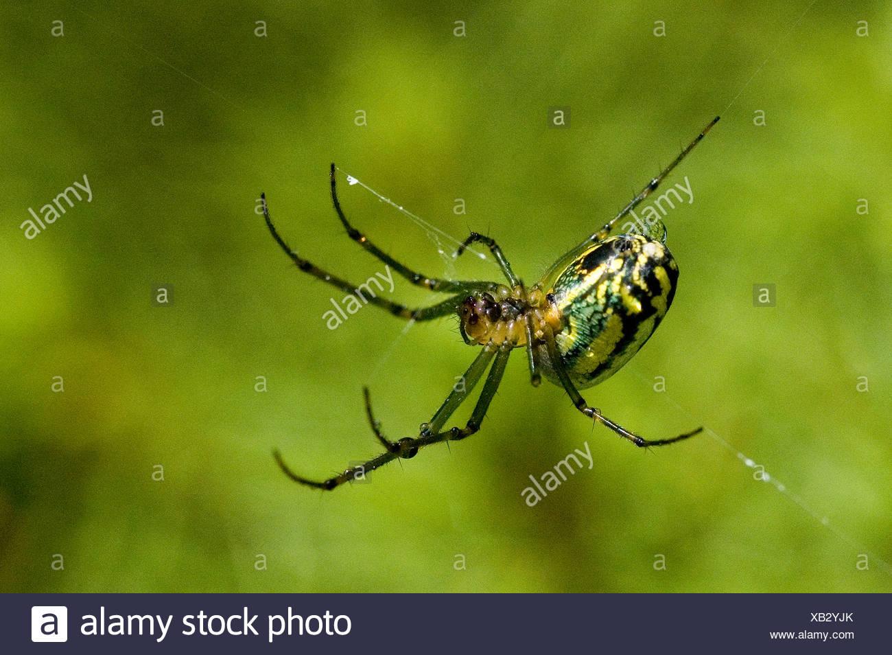 Close view of Cobweb Weaver spider. - Stock Image