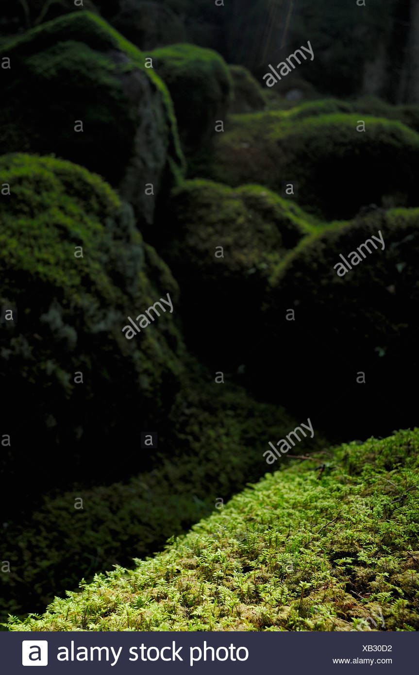 Stones covered with moss in a primeval forest, Sweden. - Stock Image