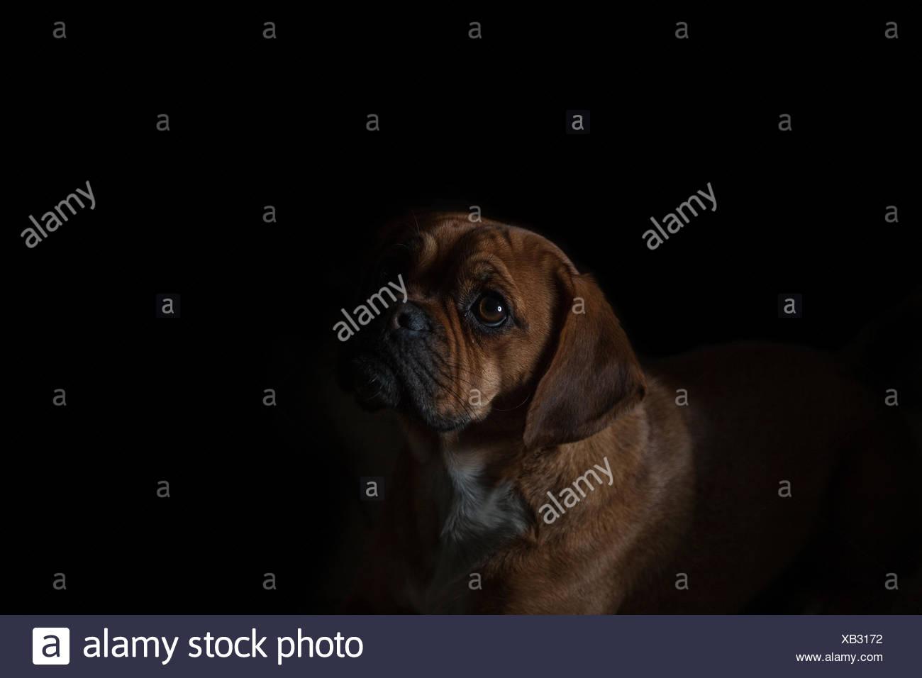 Puggle against Black Background - Stock Image