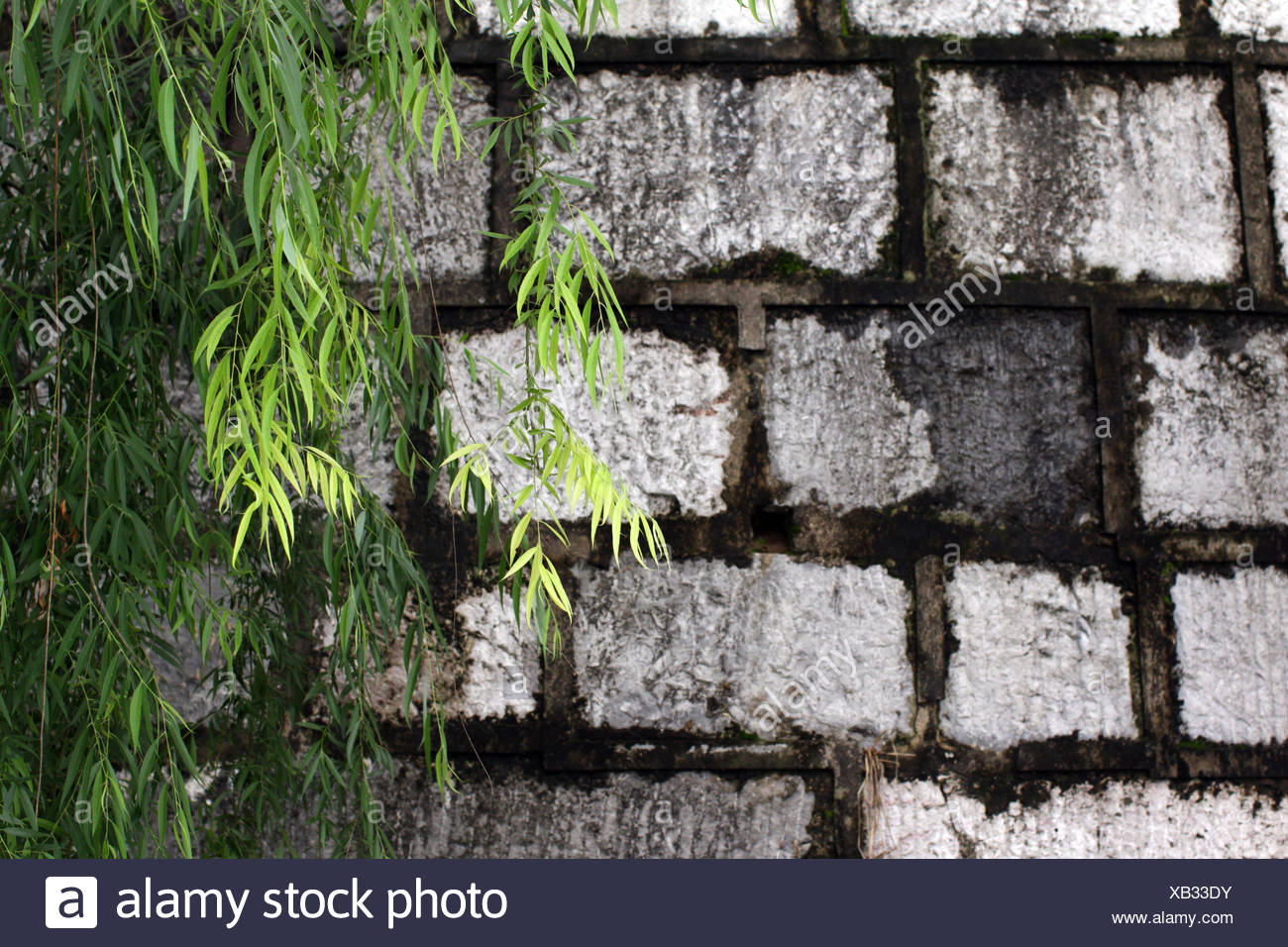 Bright green leaves drape over a brick wall. - Stock Image