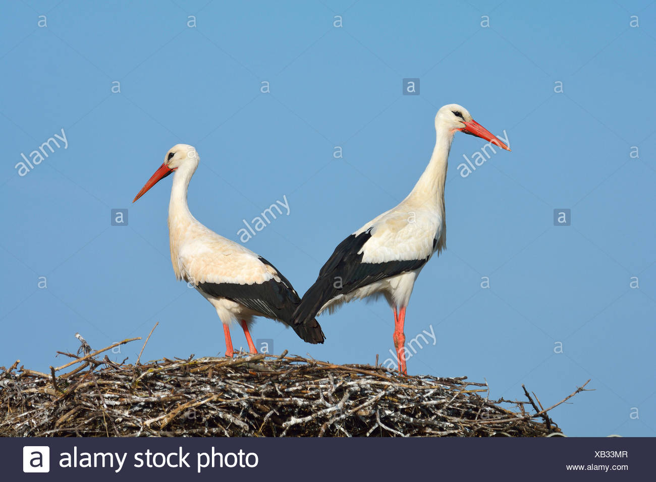 White Storck, Ciconia ciconia, Pair on Nest, Spring, Hesse, Germany Stock Photo