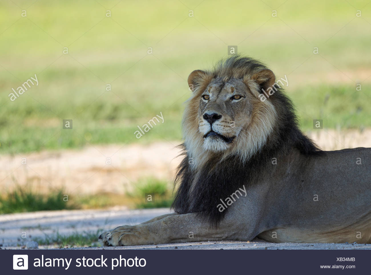 Lion (Panthera leo), black-maned male, resting, rainy season with green surroundings, Kalahari Desert - Stock Image