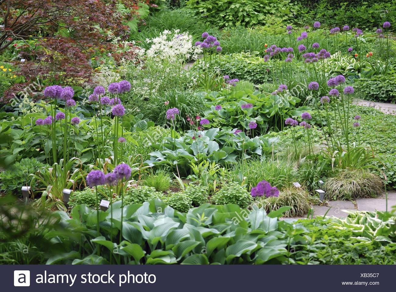 onions (Allium spec.), bloomin onion in a garden - Stock Image