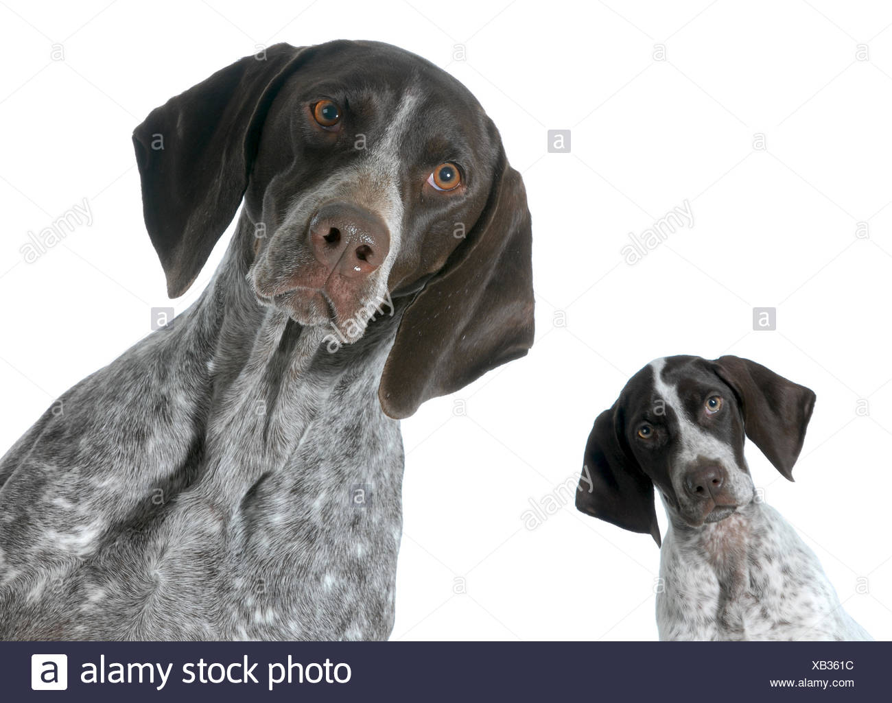adult and puppy german shorthaired pointer isolated on white ...