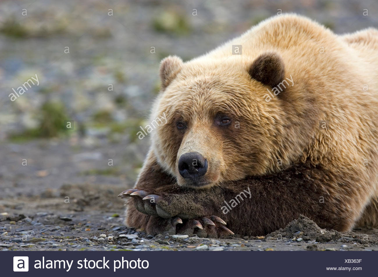 Grizzly Bear - Ursus arctos horribilis - Stock Image