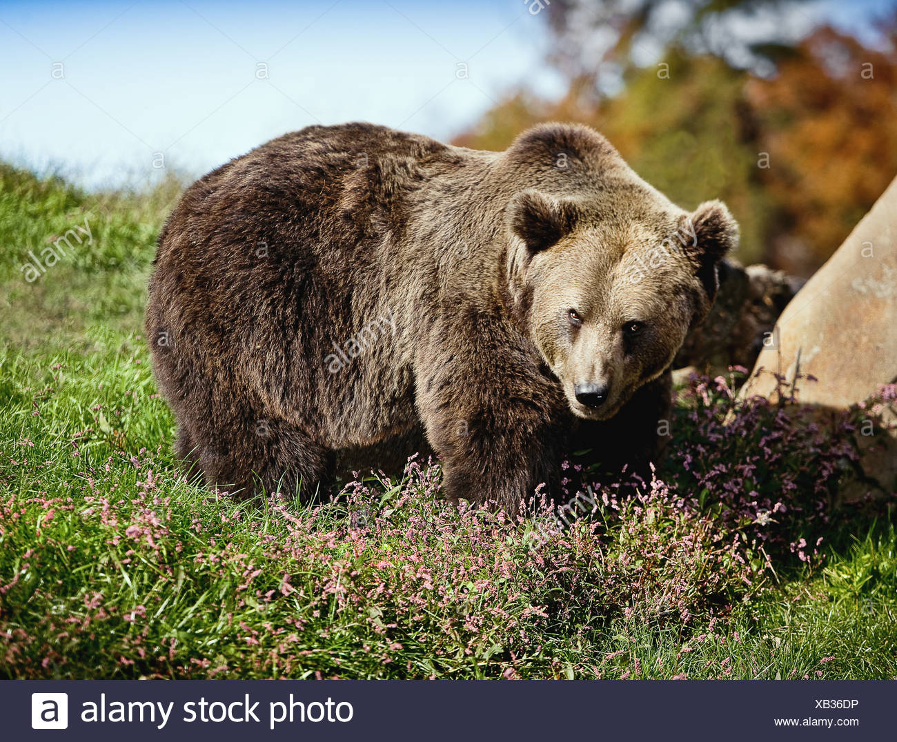 LARGE GRIZZLY BEAR ON GRASS LOOKING MENACINGLY AT CAMERA - Stock Image