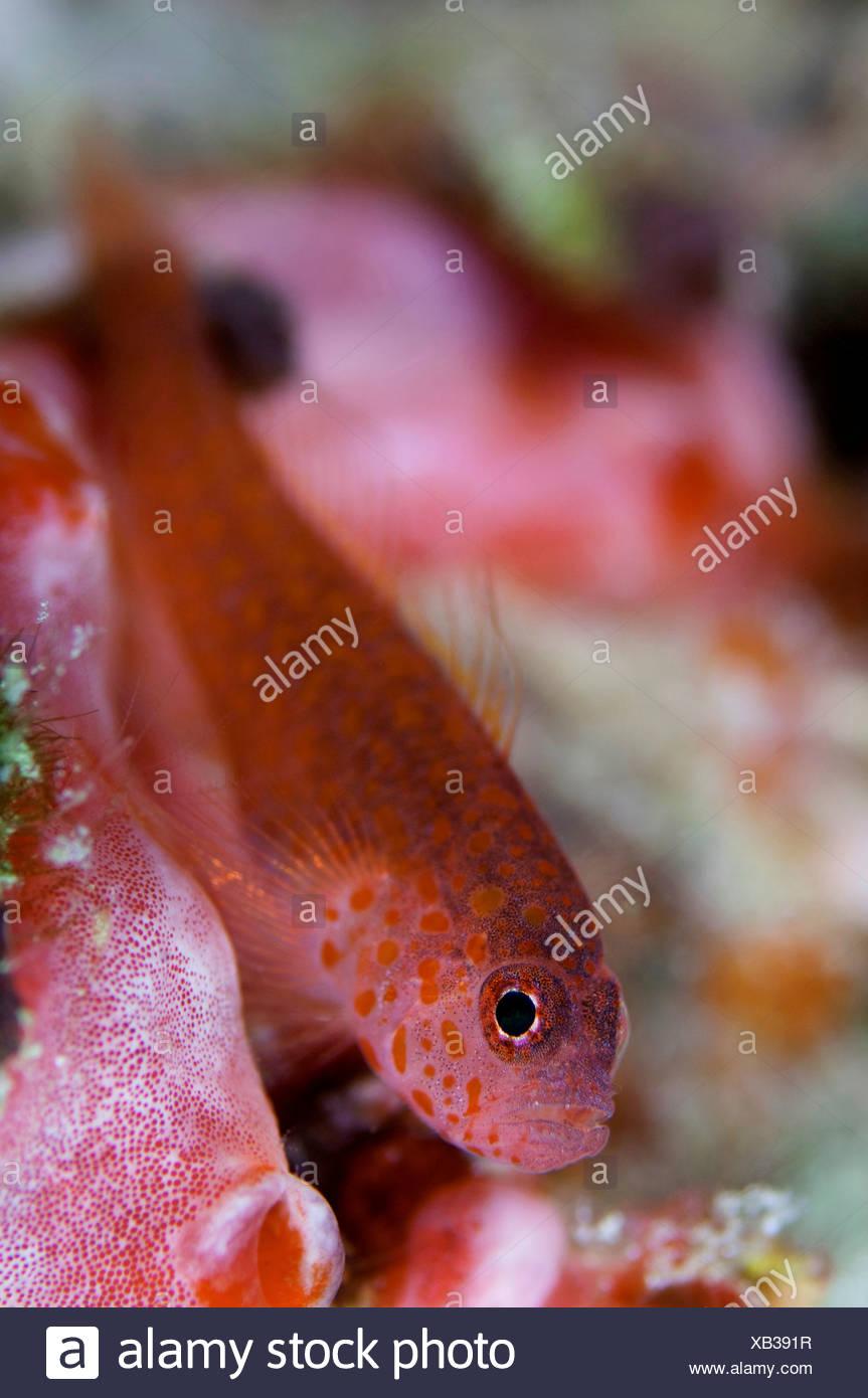 Dwarf Goby Stock Photos & Dwarf Goby Stock Images - Alamy