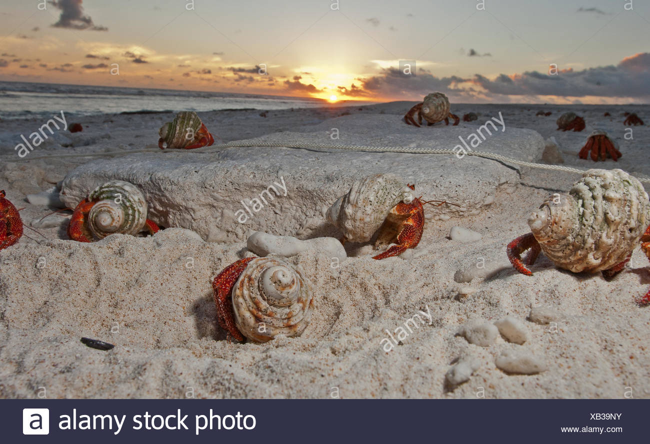 Hermit crabs crawl on a sandy beach on the deserted Starbuck Island in the Southern Line Islands. - Stock Image