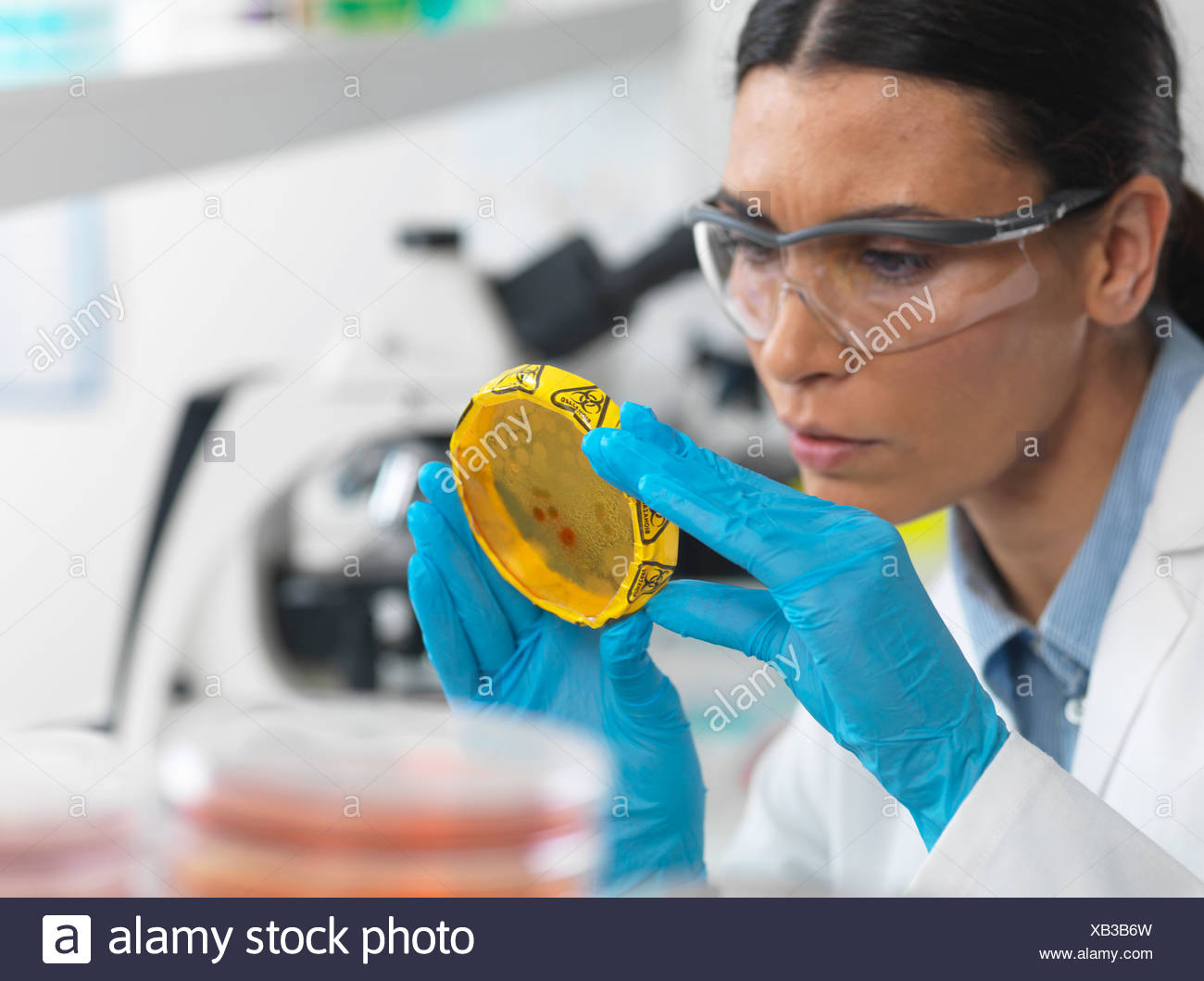 Female scientist viewing cultures growing in petri dishes with a biohazard tape on in a microbiology lab - Stock Image