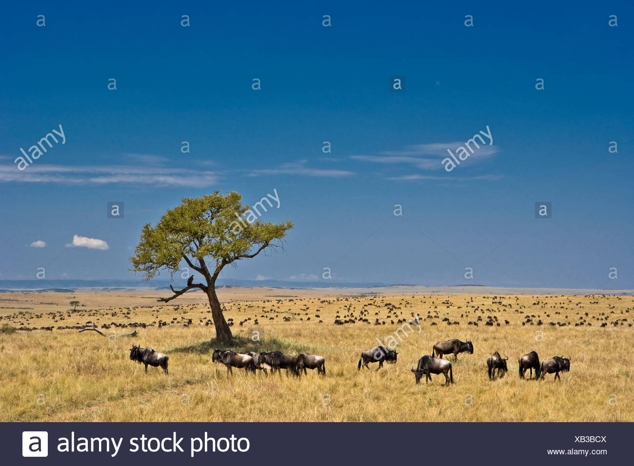 Common Wildebeest (Connochaetes taurinus) on plains during migration. Masai Mara. Kenya. Africa - Stock Image