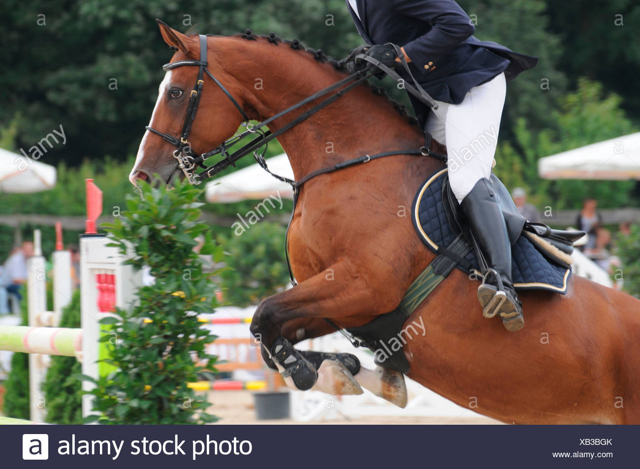 German Warmblood Horse Show Jumping Horse Tack Obstacle Pelham Bit Double Reins Running Martingale Side Stock Photo Alamy