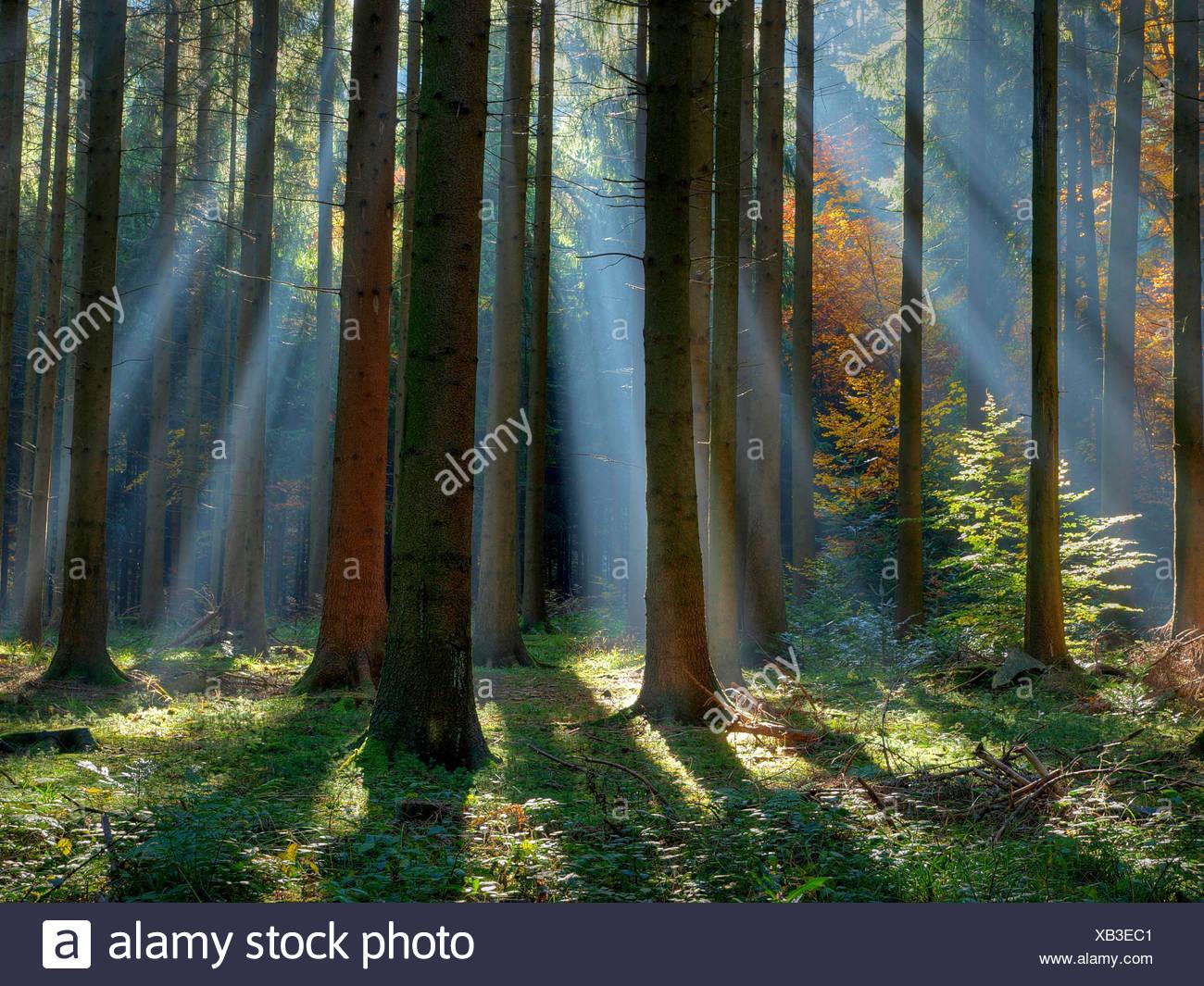 Autumn, sunrays, fir wood, Kusnacht, wood, forest, Switzerland, trunks, tribes, rays, beams, - Stock Image