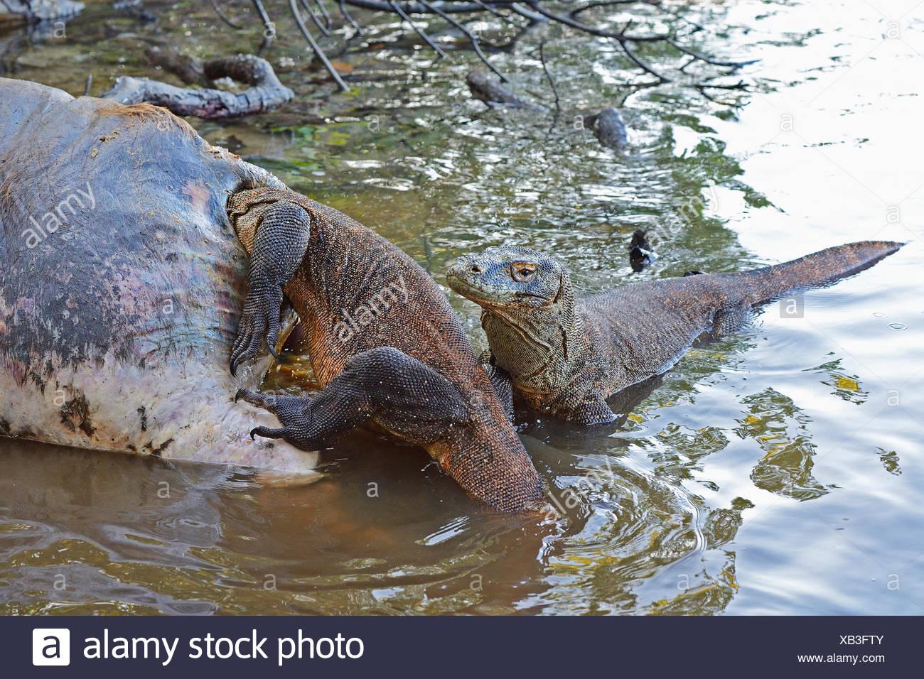 Komodo-Waran, Komodo Waran, Komodowaran (Varanus komodoensis), zwei Komodowarane fressen am Kadaver eines im Flachwasser verende - Stock Image