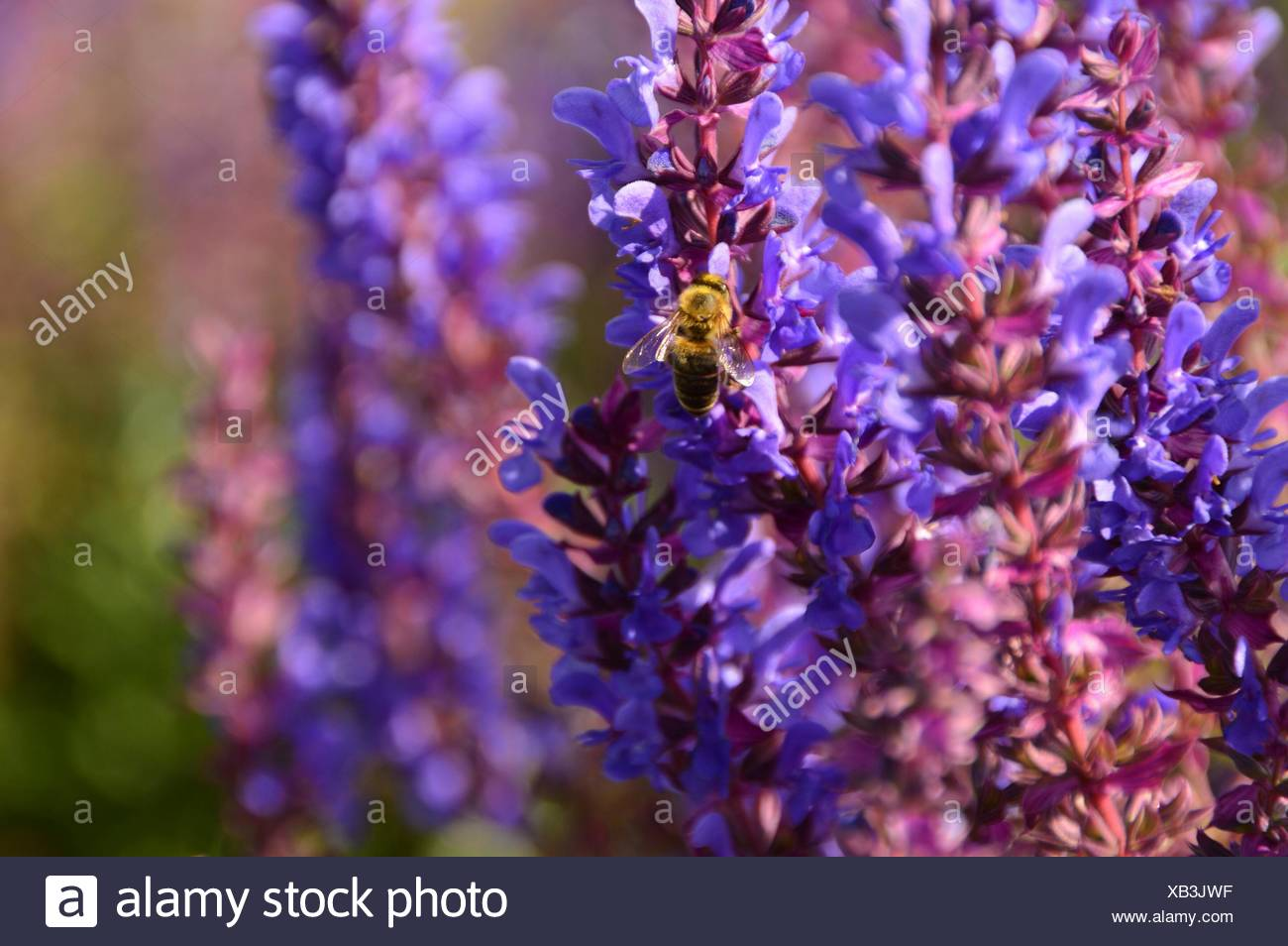 Close-Up Of Honey Bee On Flower Plants - Stock Image