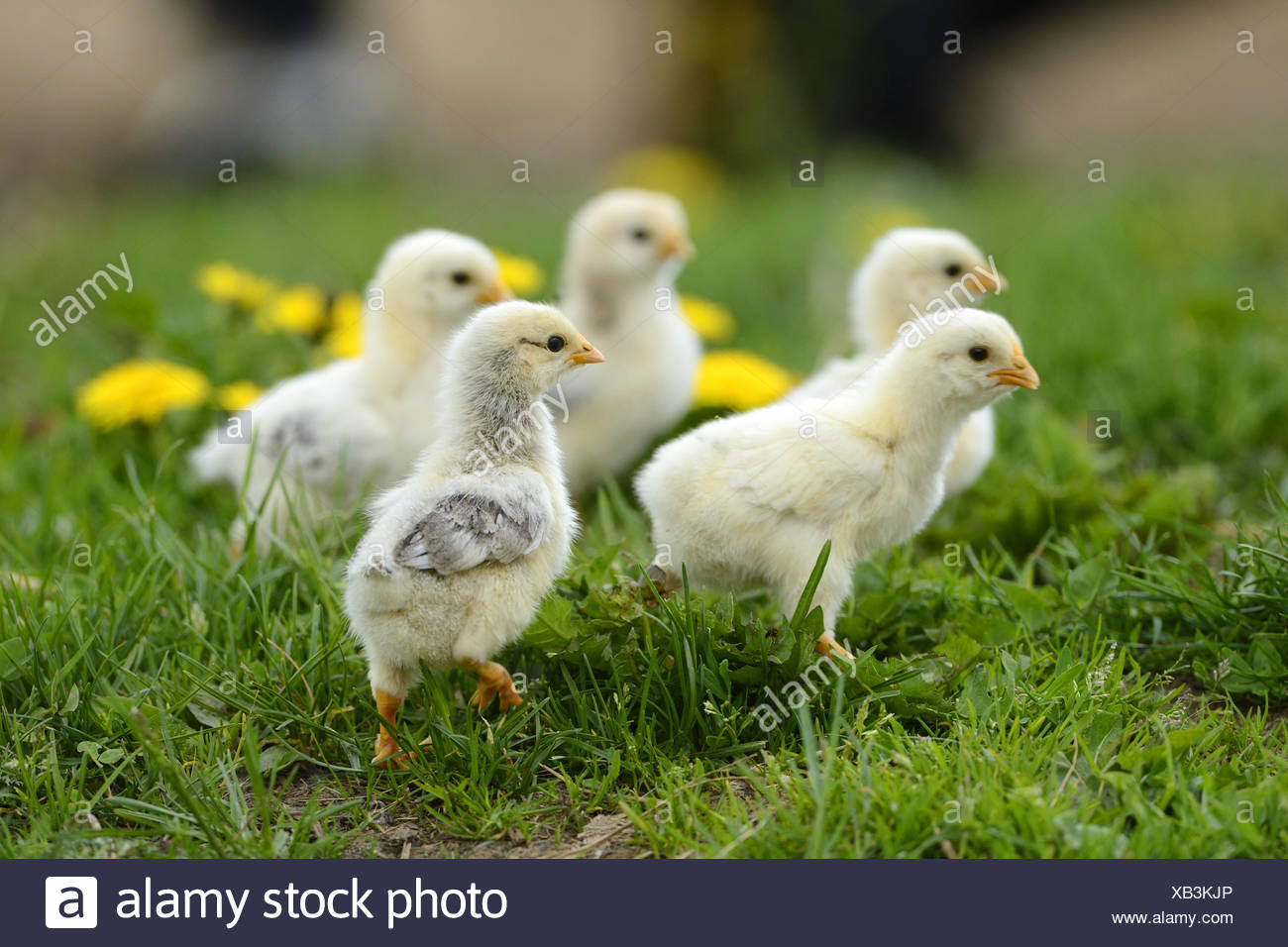 domestic fowl (Gallus gallus f. domestica), one week old chickens in a meadow, Germany Stock Photo