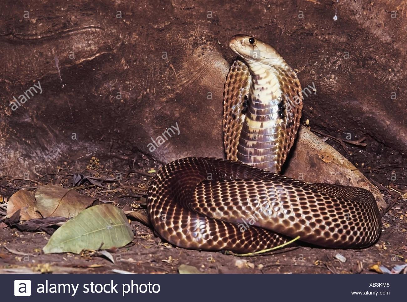 Naja Naja. Common/Spectacled Cobra displaying the classic 'snake charmer' defensive pose. Venomous. Nasrapur, Maharashtra, India. - Stock Image