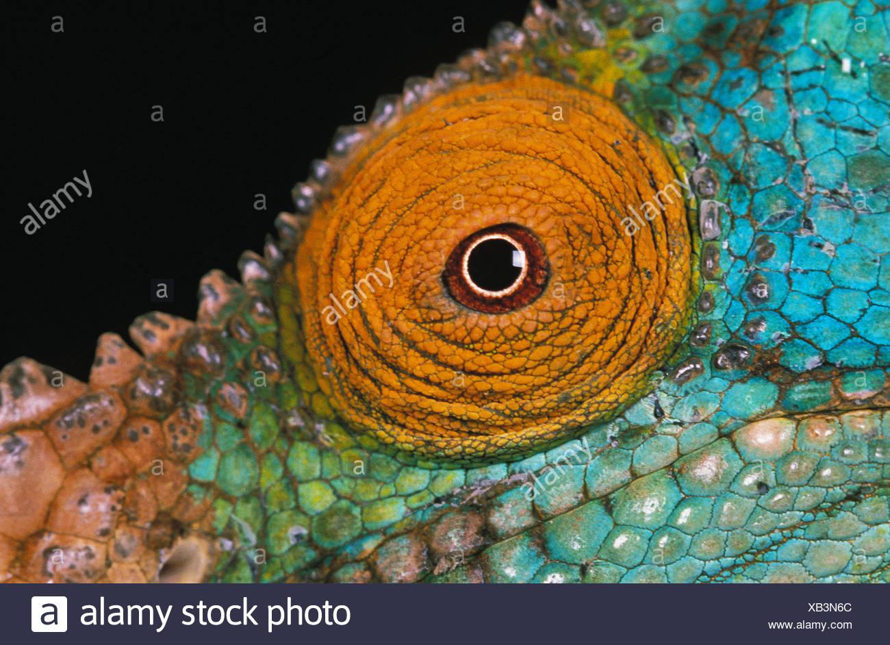 PARSON'S CHAMELEON chamaeleo parsonii, Close up of Eye against Black Background - Stock Image