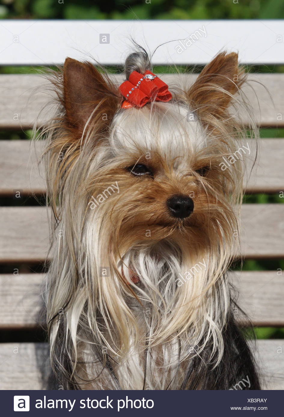 Yorkshire Terrier (Canis lupus f. familiaris), portrait, sitting on a wooden bench with a red ribbon in the hair, Germany Stock Photo