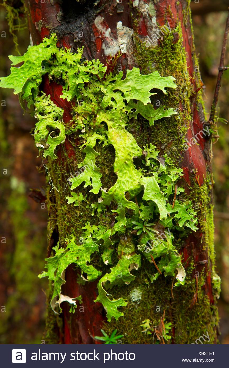 Lichen on Pacific yew along McKenzie River National Recreation Trail, Willamette National Forest, McKenzie Pass-Santiam Pass National Scenic Byway, - Stock Image