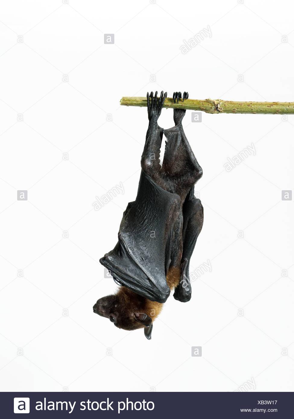 Lyle's fruit bat - Pteropus lylei Stock Photo