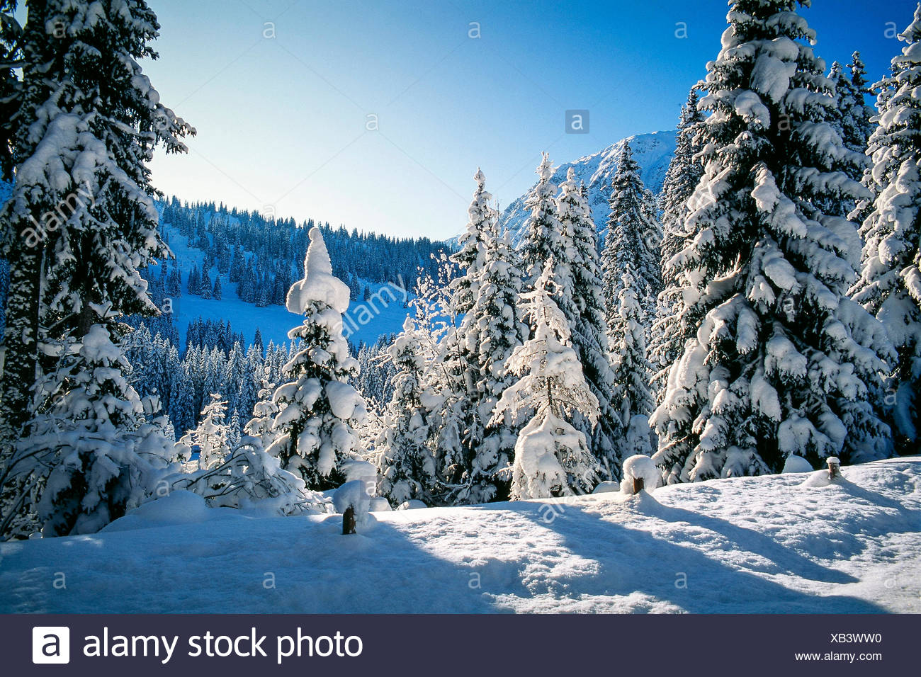 Snowy firs - Stock Image