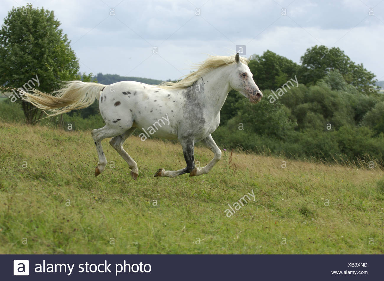 domestic horse (Equus przewalskii f. caballus), appaloosa horse mixed with english thoroughbred, stallion gallopping on a meado - Stock Image