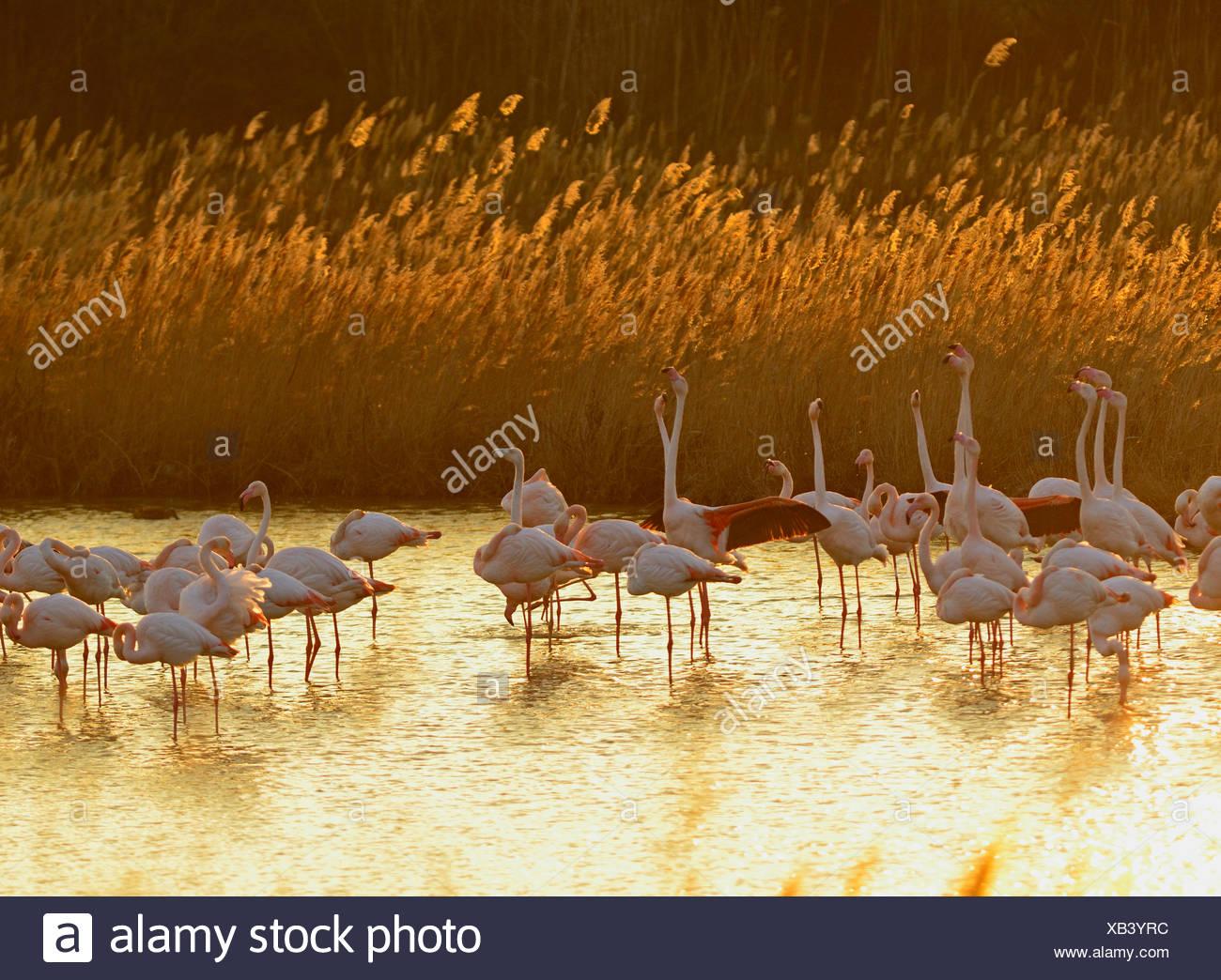 Greater Flamingos Phoenicopterus roseus Camargue France - Stock Image