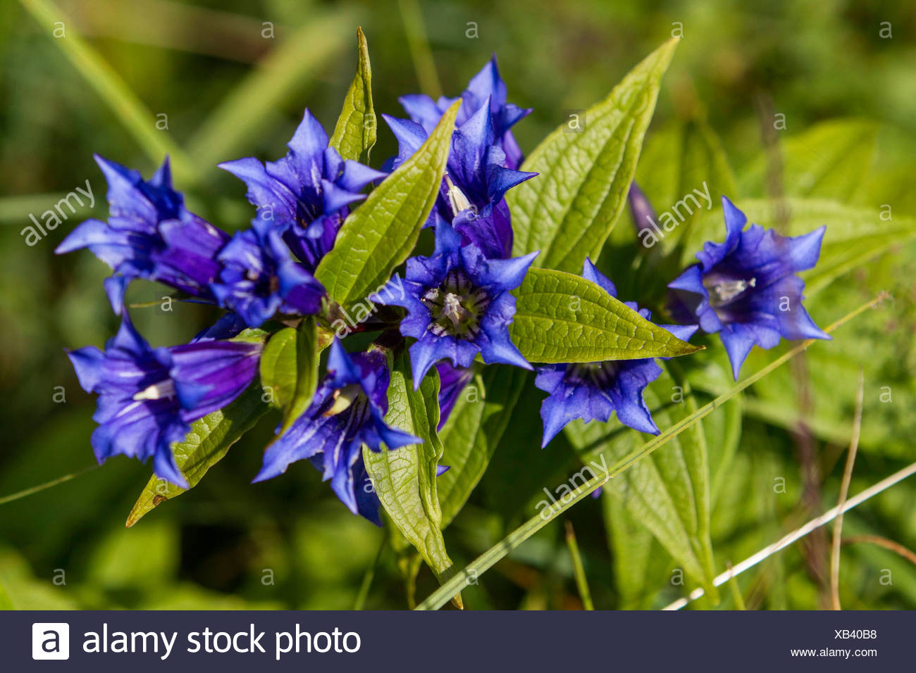 willow gentian (Gentiana asclepiadea), blooming, Germany, Bavaria - Stock Image