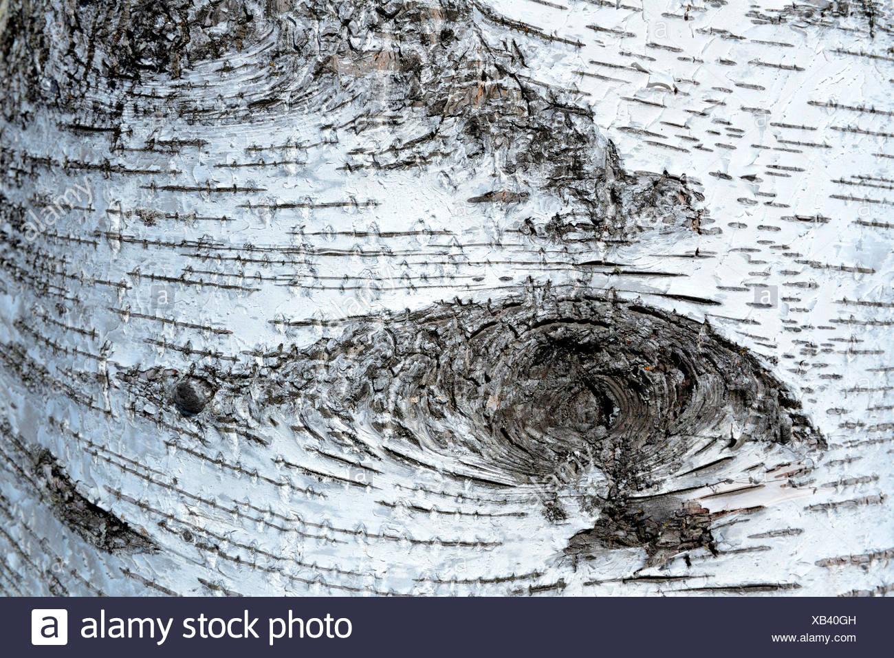 Haengebirke, Rinde, Betula pendula - Stock Image