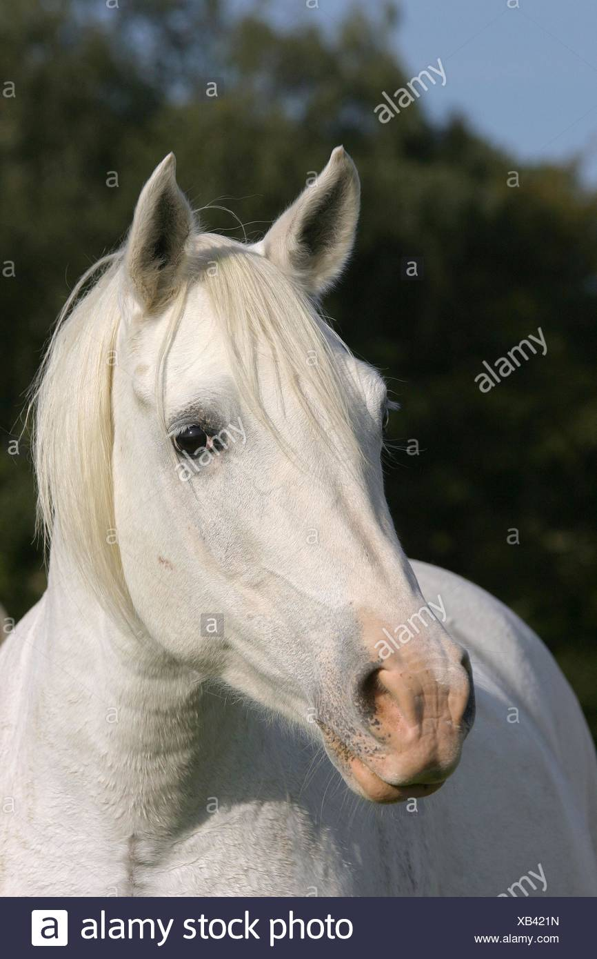 White Arabian Horse Stock Photo Alamy