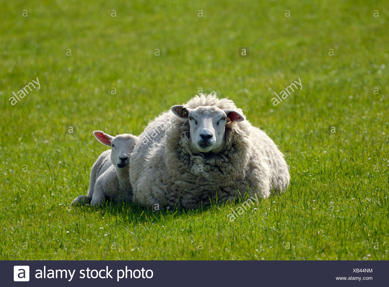 Ewe and lamb on a dyke at the North Sea coast, North Friesland, Schleswig-Holstein - Stock Image