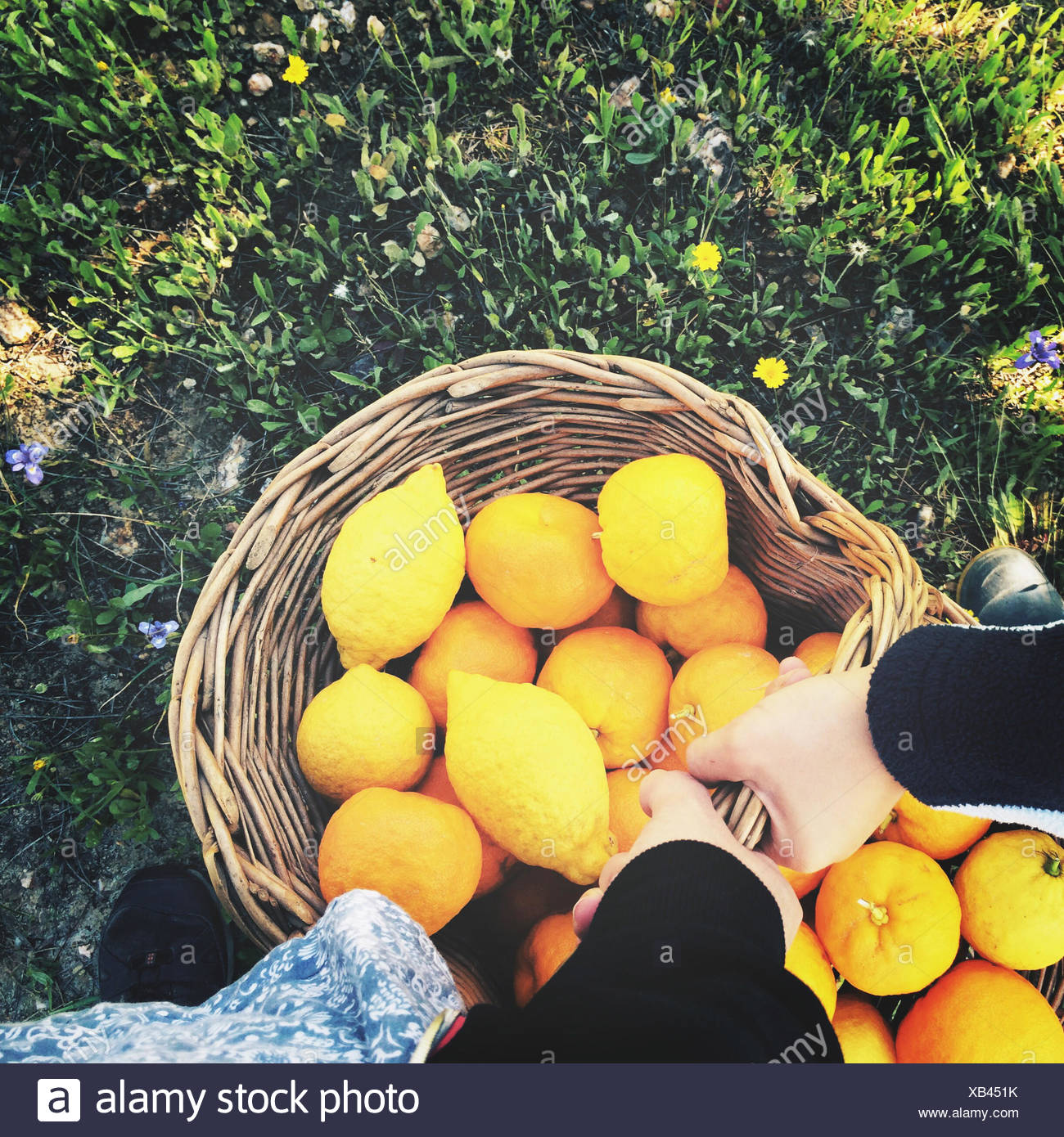 Elevated View Of Hands Holding Basket With Lemons And Oranges - Stock Image