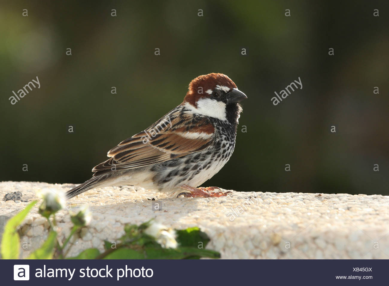Male female sparrows stock photos male female sparrows stock spanish sparrow passer hispaniolensis sitting on a wall canary islands lanzarote altavistaventures Choice Image