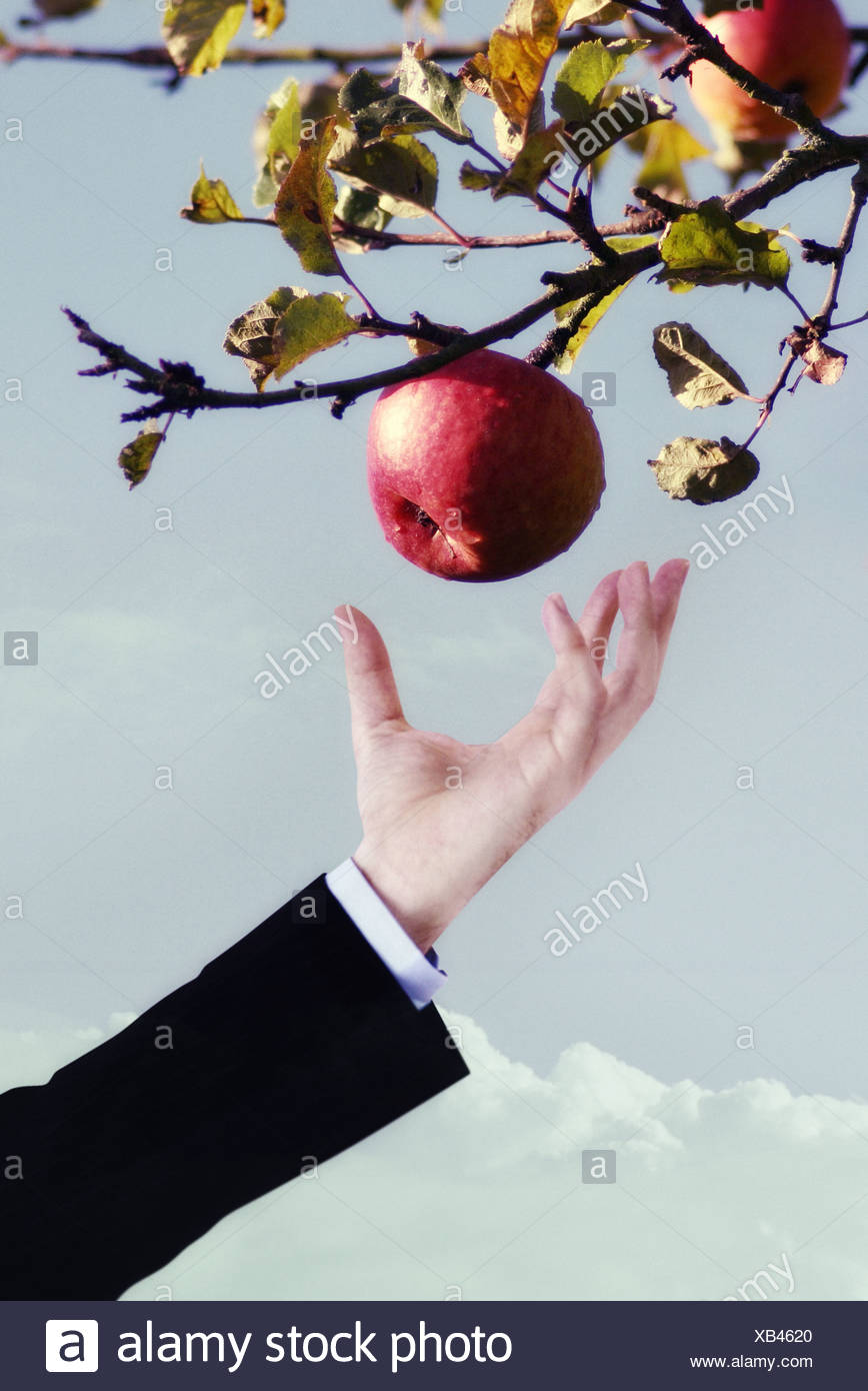a man in a suit picking an apple - Stock Image