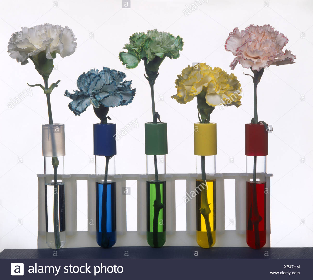CARNATIONS SHOWING THE CONDUCTION OF FOOD COLORING INTO ...