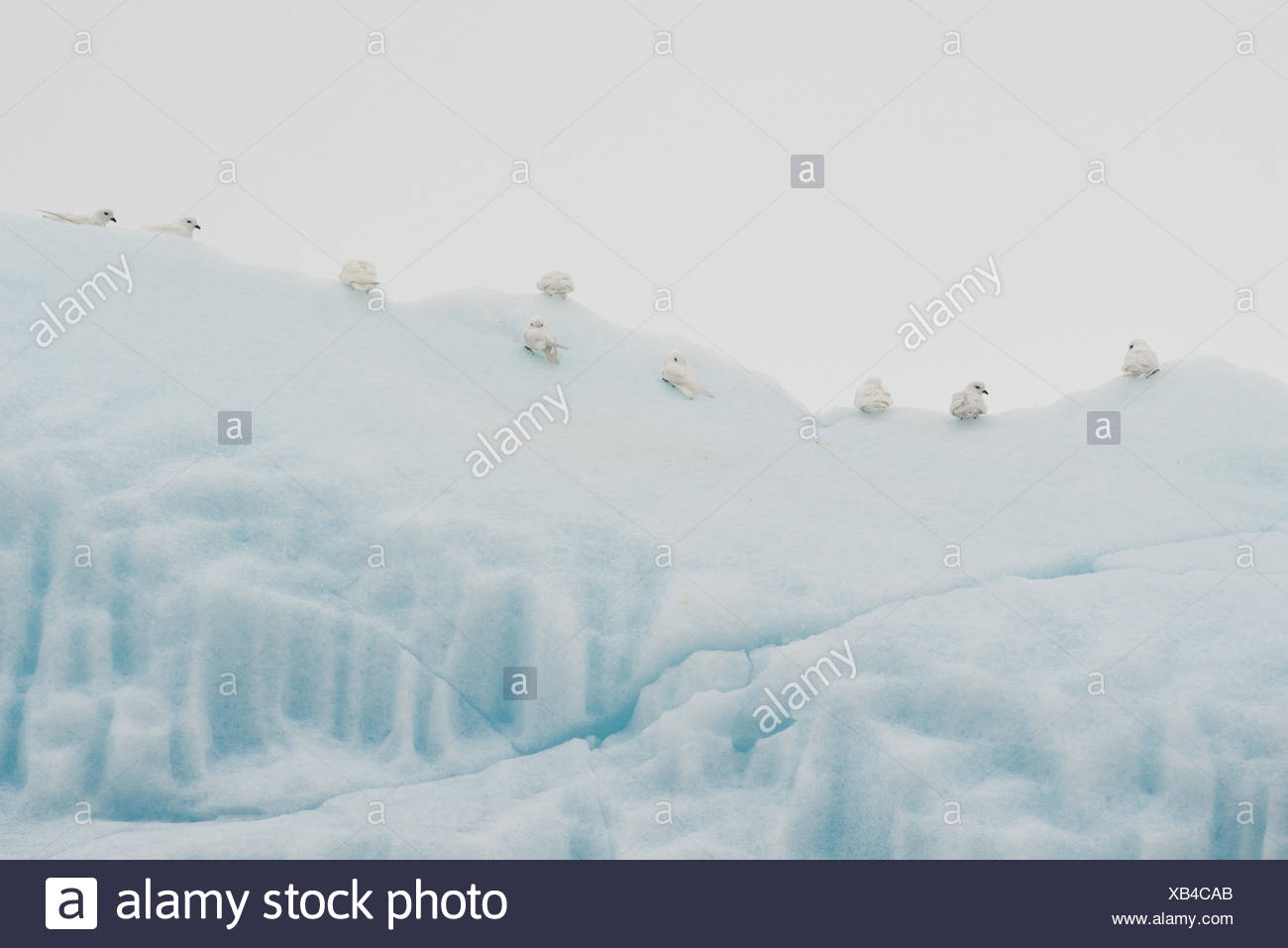 Flock of Snow Petrel, Pagodroma nivea, perching on an iceberg. - Stock Image